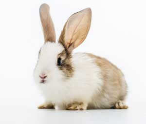 Domestic Rabbits included in FSSAI Regulations for Meat and Meat Products
