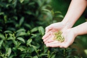 11 Tea Estates Join FSSAI's Eat Right Campus Certification Programme